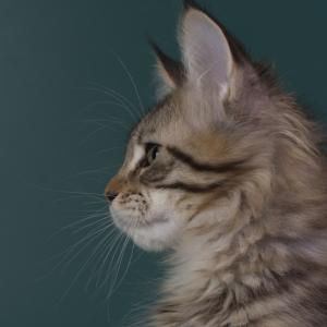 котенок мейн кун Jaguara из питомника Estate Pearls. фото в возрасте 4 месяца