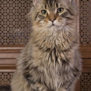 котенок мейн кун Jaguara из питомника Estate Pearls. фото в возрасте 5 месяцев
