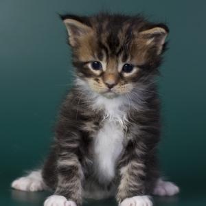 котенок мейн кун Karlsson из питомника Estate Pearls