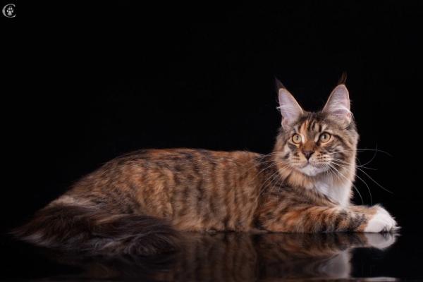 кошка мейн кун  Marseillaise Estate PearlS, черная пятнистая черепаха с белым