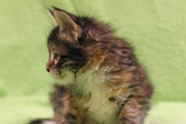 котенок мейн кун, кошка, черная пятнистая черепаха с белым, Marseillaise Estate PearlS. 1 месяц