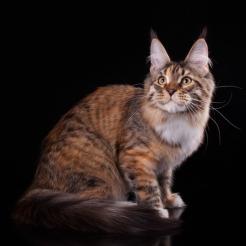 кошка мейн кун Marseillaise из питомника   Estate PearlS, 5 месяцев