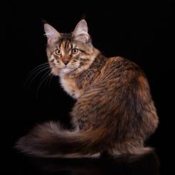 кошка, черная пятнистая черепаха с белым, Marseillaise Estate PearlS. 5 месяцев