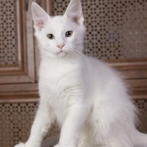 кошка мейн кун белого окраса Natiqua Estate Pearls*RU
