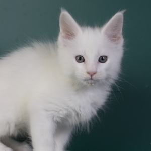 котенок мейн кун Nobel Estate Pearls*RU , окрас белый