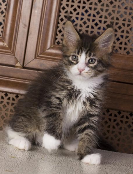 котенок мейн кун Pinkerton из питомника Estate Pearls'RU
