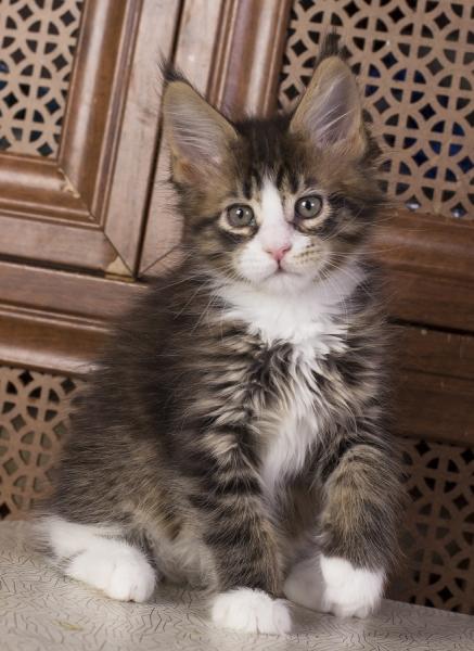 котенок мейн кун Pinkerton Estate Pearls'RU