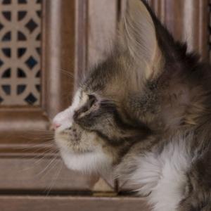 котенок мейн кун Pinkerton из питомника Estate Pearls'RU, фото в возврате 2 месяца