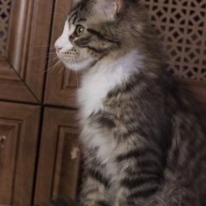 котенок мейн кун Pinkerton Estate Pearls'RU, фото в возврате 3 месяца