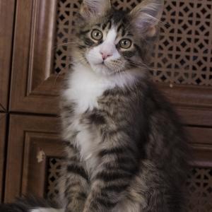 котенок мейн кун Pinkerton из питомника Estate Pearls'RU, фото в возврате 3 месяца