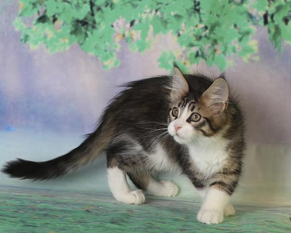 фото котенка мейн кун Quickbeam из питомника Estate PearlS*RU,  возраст 2,5 месяца, окрас черный пятнистый с белым