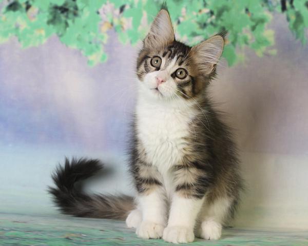 фото котенка мейн кун Quickbeam из питомника Estate PearlS*RU, окрас черный пятнистый с белым  возраст 2,5 месяца,