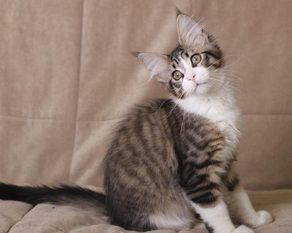 фото котенка мейн кун Quickbeam из питомника Estate PearlS*RU, окрас черный пятнистый с белым  возраст 3 месяца,