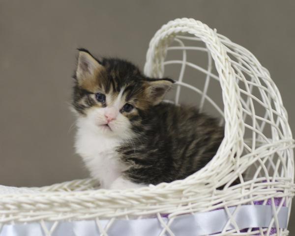 котенок мейн кун Quickbeam из питомника Estate PearlS*RU, крупный мальчик, 2 недели