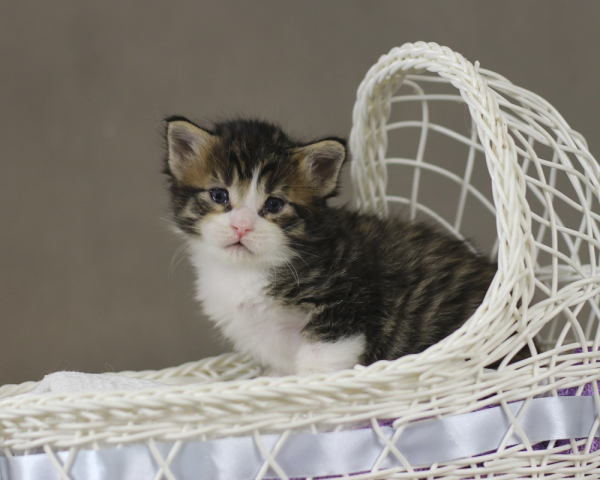 котенок мейн кун Quickbeam из питомника Estate PearlS*RU, 2 недели, окрас черный пятнистый с белым