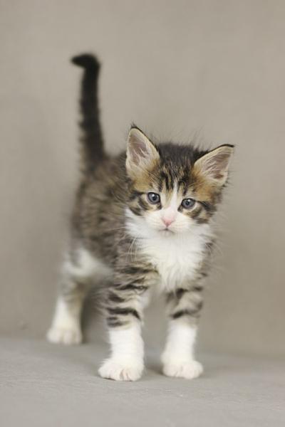 котенок мейн кун Quickbeam из питомника Estate PearlS*RU,  1 месяц, окрас n 09 24
