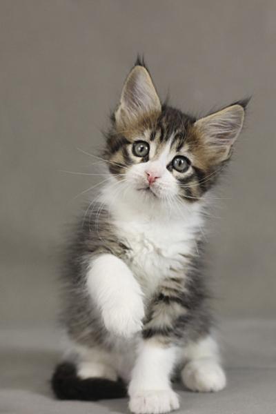 фото котенка мейн кун Quickbeam из питомника Estate PearlS*RU,  возраст 1,5 месяца, окрас черный пятнистый с белым