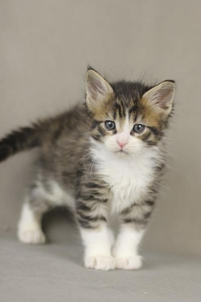 котенок мейн кун Quickbeam из питомника Estate PearlS*RU, крупный мальчик, 1 месяц
