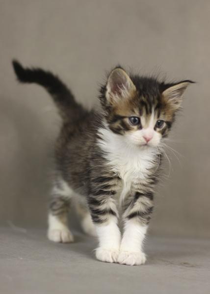 котенок мейн кун Quickbeam из питомника Estate PearlS*RU,  1 месяц, окрас черный пятнистый с белым