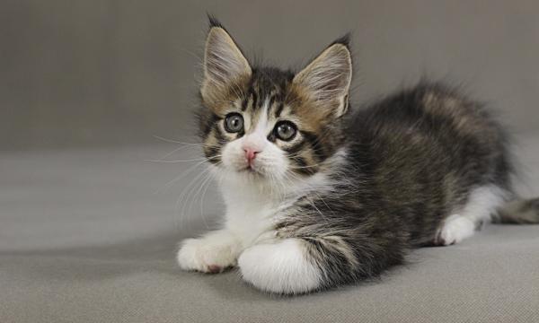 фото котенка мейн кун Quickbeam из питомника Estate PearlS*RU, окрас черный пятнистый с белым  возраст 1,5 месяца,