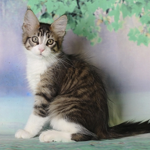 котенок мейн кун Quickbeam из питомника Estate PearlS*RU, крупный мальчик, 2.5 месяца