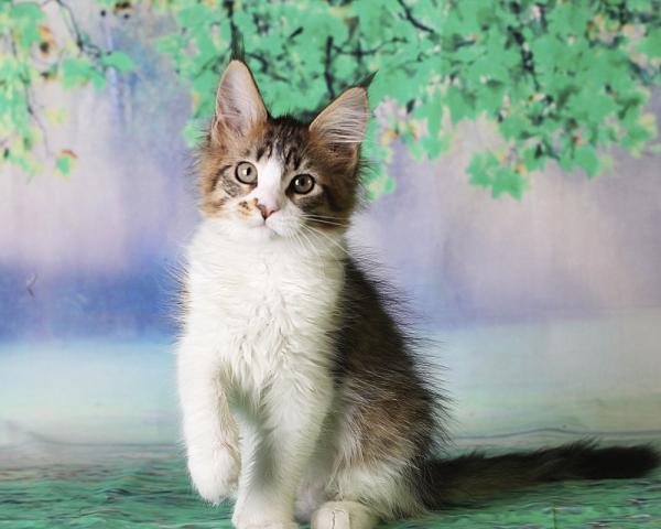 фото котенка мейн кун Quinta Estate PearlS, окрас черная пятнистая с белым, в возрасте 3 месяца,окрас n 03 24 черная пятнистая с белым