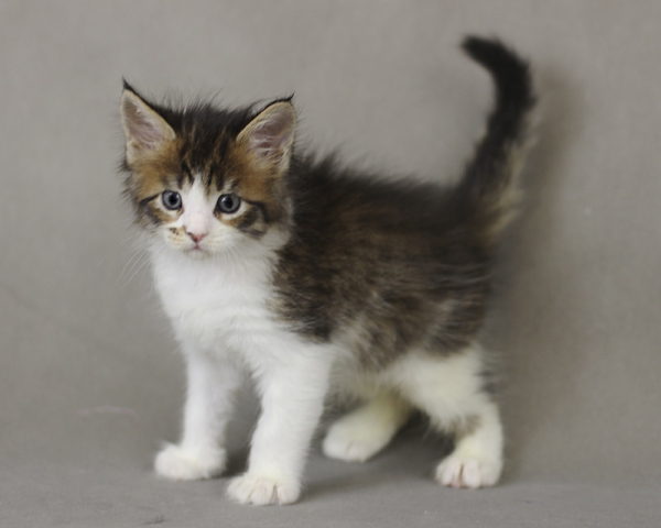 фото котенка мейн кун Quinta Estate PearlS, окрас n 03 24, в возрасте 1 месяц, сайт питомника мейн кунов http://estatecoons.ru/