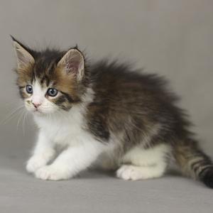 фото котенка мейн кун Quinta Estate PearlS, окрас черная пятнистая с белым, в возрасте 1 месяц, сайт питомника мейн кунов http://estatecoons.ru/