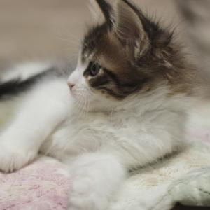 фото котенка мейн кун Quinta Estate PearlS, окрас черная пятнистая с белым, n 03 24 в возрасте 1,5 месяца,