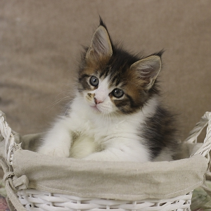 фото котенка мейн кун Quinta Estate PearlS, окрас черная пятнистая с белым, в возрасте 1,5 месяца,окрас n 03 24