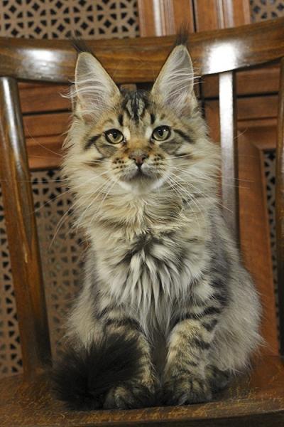 котенок  мейн кун Rigantona Estate Pearls. окрас черная пятнистая, фото в возрасте 4 месяца