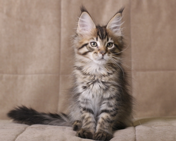 котенок  мейн кун Rigantona Estate Pearls. окрас черная пятнистая, фото в возрасте 2 дней