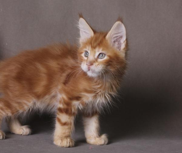 фото котенка  мейн кун Roy Estate Pearls.окрас красный мраморный (d 22), возраст 2 месяца,