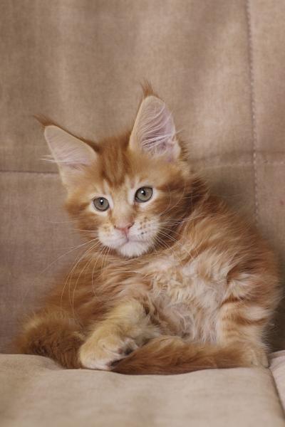 фото котенка  мейн кун Roy Estate Pearls.окрас красный мраморный (d 22), возраст 2.5 месяц