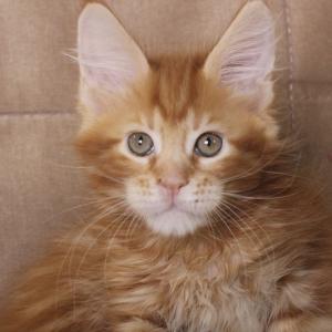 фото котенка  мейн кун Roy Estate Pearls.окрас красный мраморный (d 22), возраст 2.5 месяца,