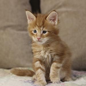 фото котенка  мейн кун Roy Estate Pearls. возраст 1 месяц, окрас красный мраморный (d 22)