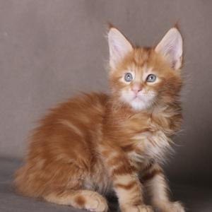 фото котенка  мейн кун Roy Estate Pearls.окрас красный мраморный (d 22), возраст 1,5 месяца,