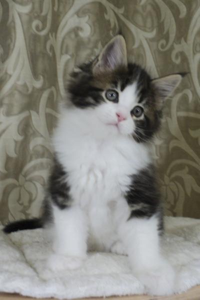 котенок мейн кун Tom Sawyer Estate Pearls. 2 месяца