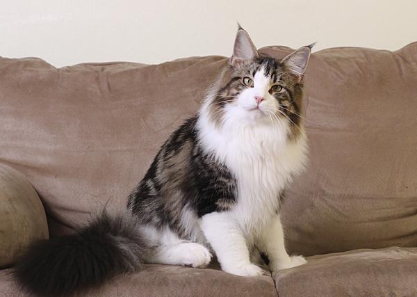 кот мейн кун Tom Sawyer Estate Pearls, фото в возрасте 8 месяцев, окрас n 03 22