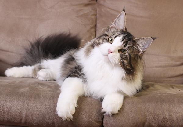 кот мейн кун Tom Sawyer Estate Pearls, фото в возрасте 8 месяцев, окрас черный мрамор с белым