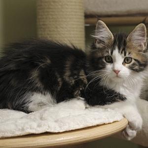 котенок мейн кун Tom Sawyer Estate Pearls, возраст 3 месяца, окрас черный мрамор с белым