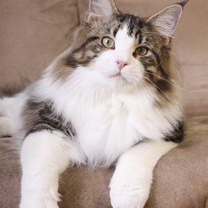 кот мейн кун Tom Sawyer Estate Pearls, возраст 8 месяцев, окрас черный мрамор с белым