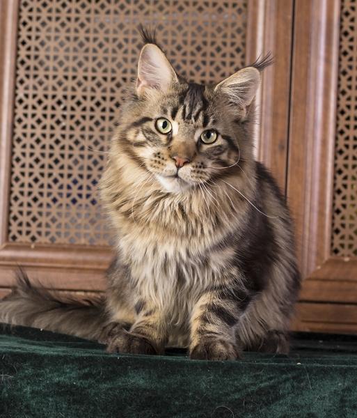 котенок мейн кун  WESTERN Estate Pearls*RU возраст 8 месяца, окрас черный мраморный