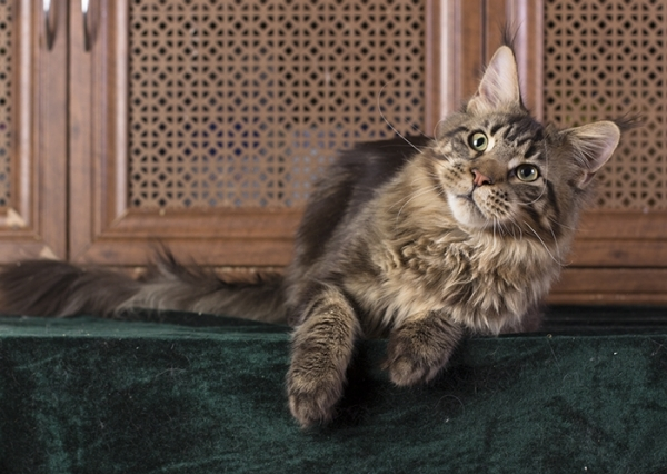 котенок мейн кун  WESTERN  из питомника Estate Pearls*RU, возраст 8 месяца