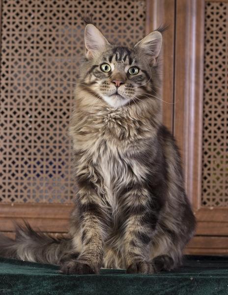 котенок мейн кун  WESTERN Estate Pearls*RUфото в возрасте 8 месяца