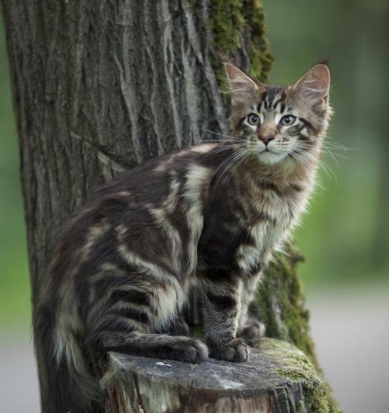 котенок мейн кун  WESTERN Estate Pearls*RU возраст 3 месяца, окрас n 22
