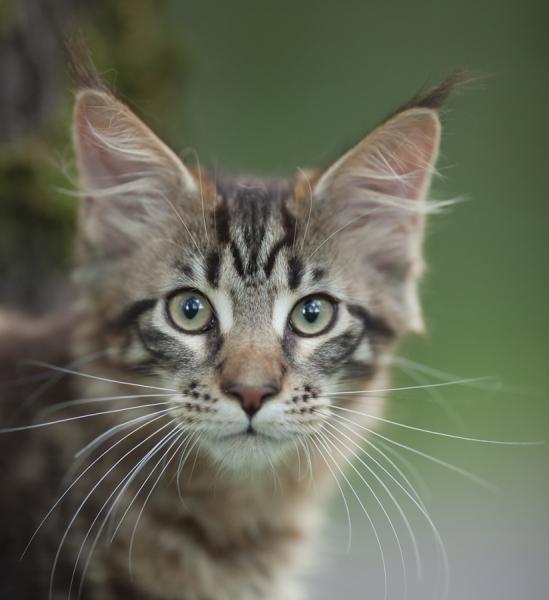 котенок мейн кун  WESTERN Estate Pearls*RU возраст 3 месяца