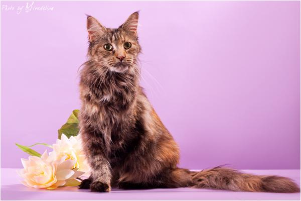 кошка мейн кун Willow