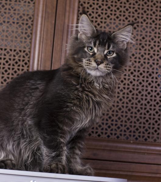 котенок мейн кун Wrangler из питомника Estate Pearls*RU, тикированный