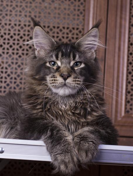 котенок мейн кун Wrangler Estate Pearls*RU